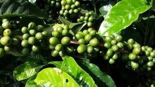 Czy zielona kawa odchudza?