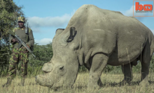 Niedługo umrze ostatni biały nosorożec...