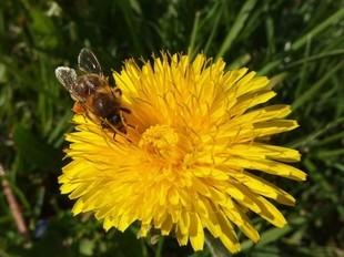 Mniszek - mały kwiatuszek na wielkie choroby