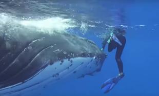 25 tonowy wieloryb uratował życie biolog Nan Hauser