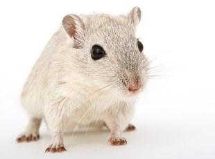 Szczury pomogą wyjaśnić związek Parkinsona z depresją