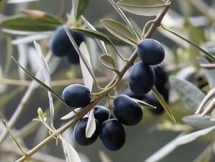 Jak powstaje oliwa?
