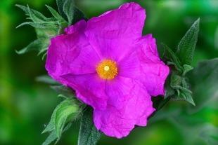 Czystek - mały kwiatek na wielki detoks!