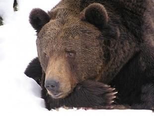 Dziś Święto Niedźwiedzia
