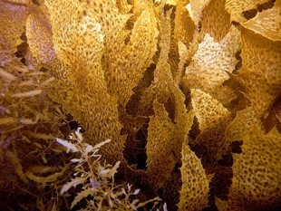 Kelp -  bezcenna brunatna alga! Na co pomaga?