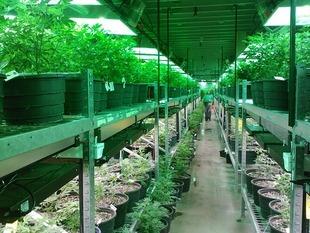 Marihuana lekarstwem na raka?