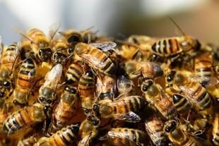 Ubrana w 12 tysięcy pszczół