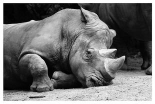 Zaadoptuj nosorożca!