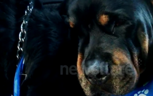 Rottweiler rozpaczający po śmierci brata