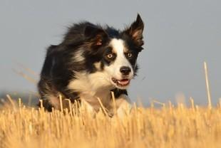 Border collie - najlepsi pasterze na świecie