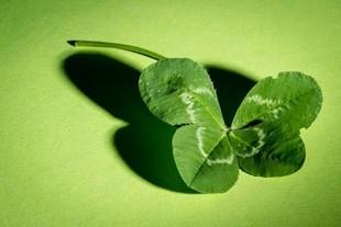 Biała magia - dlaczego czterolistna koniczyna przynosi szczęście?