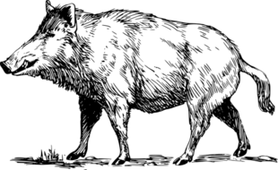 Chiński Horoskop 2017 - Dzik