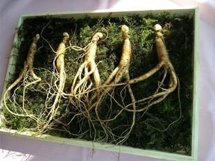 Żeń - Szeń - cudowna roślina, ale nie dla wszystkich! Sprawdź, czy możesz go brać?