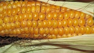 Bezcenna kukurydza - bez glutenu, bogata w selen