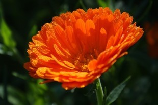 Nagietek - mały kwiatuszek na wiele chorób. Poznaj jego moc!