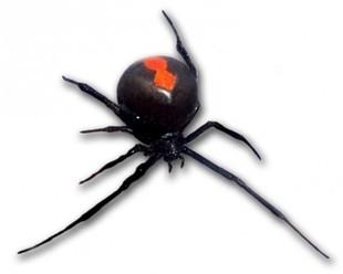 Australia - jadowity pająk ukąsił go dwa razy w penisa w ciągu pół roku