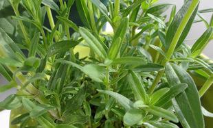 Hyzop - biblijna roślina oczyszczająca