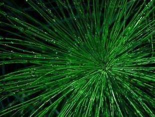 Skrzyp polny - naturalny środek moczopędny. Silniejszy niż wiele leków. Idealny na detoks!