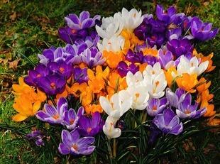 Posadź cebulki kwiatów jesienią – pomożesz pszczołom na wiosnę