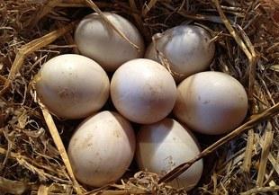 Pochwała jedzenia jajek