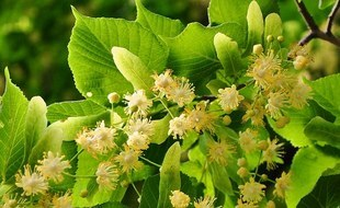 Lipa - święte drzewo, które leczy