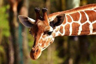 Mówisz językiem szakala czy żyrafy? O sztuce budowania porozumienia