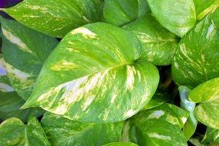Rośliny antysmogowe, które warto mieć w domu
