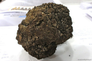 Trufle - najdroższe grzyby świata