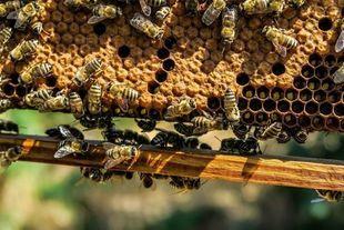 Pierzga pszczela – wyjątkowy dar od pszczół