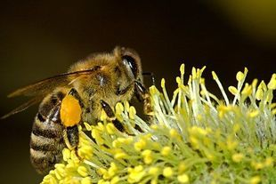 Miejskie pszczoły kochają cmentarze, ale ich miód jest równie zdrowy jak ten ze wsi