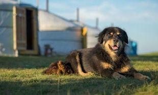 Jak uratowano mongolskie psy