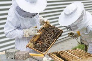 Pszczoły w miastach  wytwarzają bardziej oryginalny i czystszy miód niż na terenach rolniczych