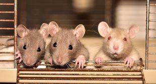 Szczury też pomagają przyjaciołom