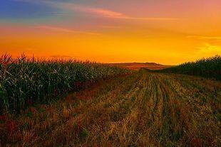 Polem kukurydzy płynie sześć Kobiet...
