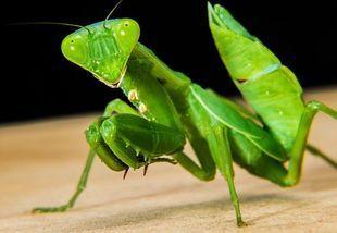 Modliszka - rozmodlony owad