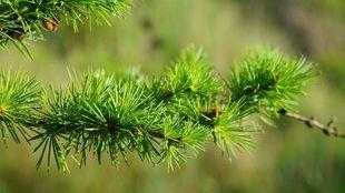 Arabinogalaktan - zdrowie z natury