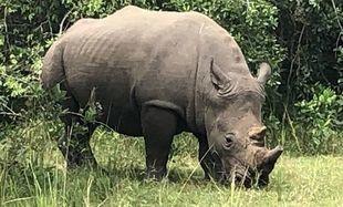 Witajcie w Ugandzie - dlaczego białe nosorożce wcale nie są białe?