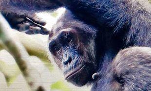 Witajcie w Ugandzie - w krainie szympansów