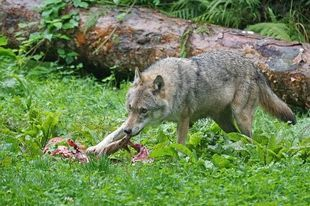 Także u wilków najlepsze kąski dostają dzieci