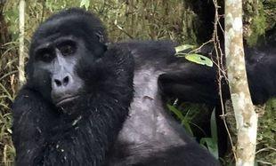 Witajcie w Ugandzie - oko w oko z gorylem