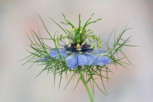Ta roślina pomaga usunąć kamienie nerkowe. Kupisz ją bez problemu