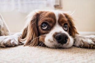 Nie ma masowego usypiania psów z powodu koronawirusa. To fake!