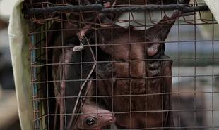 Ochrona dzikiej przyrody mogła zapobiec epidemii koronawirusa SARS-CoV-2