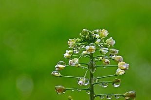 Tasznik - niemile widziany chwast, który leczy wiele chorób