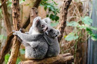 Czy miś koala jest misiem? Sprawdź, co wiesz o zwierzętach?