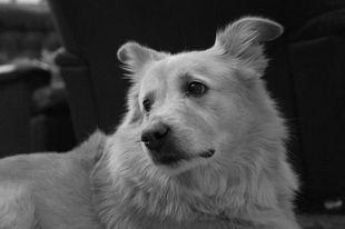 Amerykanie szkolą psy w wykrywaniu koronawirusa u ludzi
