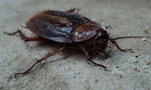 Pięć chorób, które mogą być przenoszone przez karaluchy