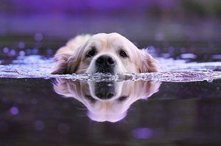 Czy wszystkie psy umieją pływać?