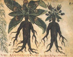 Mandragora - tajemnicza roślina w kształcie człowieka