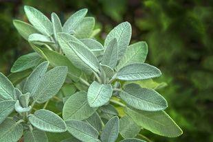 Szałwia - magiczna roślina na uderzenia gorąca podczas menopauzy